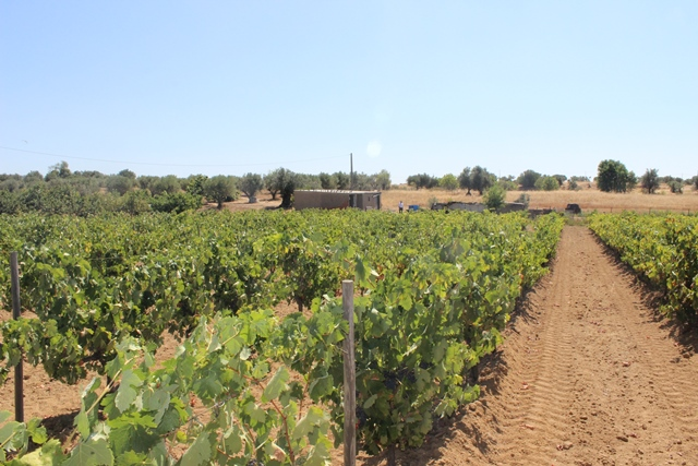 Land with Vineyard, Fruit & Olive Trees